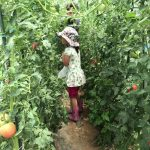 自家栽培トマトの収穫