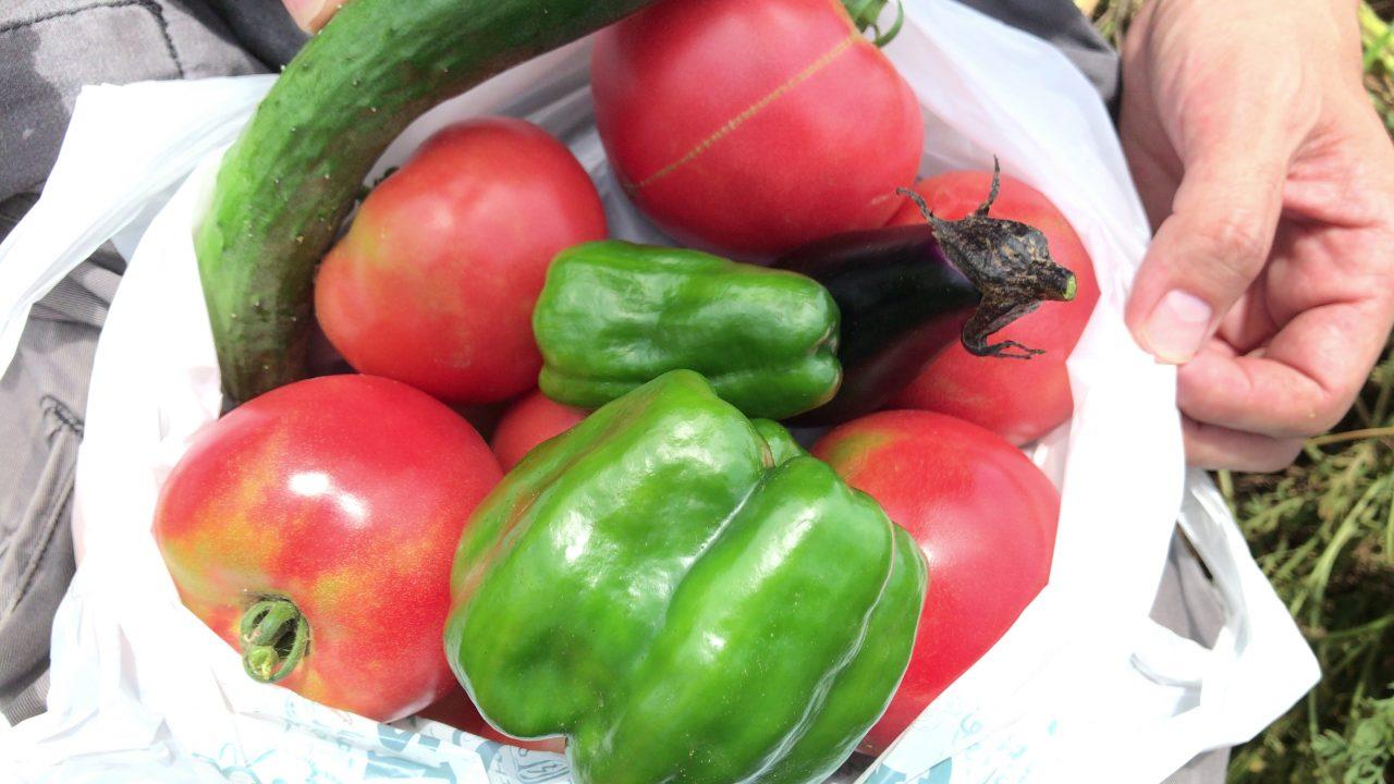 育てたトマトの収穫